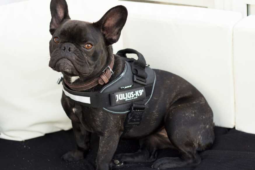 Frenchie-with-julius-k9-harness