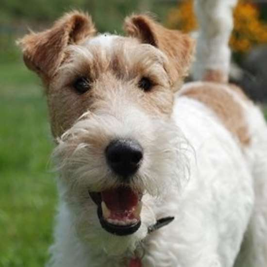 Wire Fox Terrier - Julius-K9 harness size mini