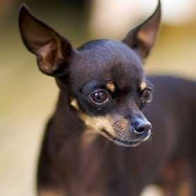 Russian Toy Terrier - Julius-K9 harness
