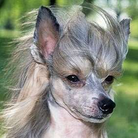 Chinese Crested - Julius-K9 harness