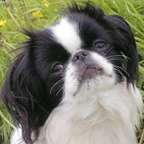 Japanese Chin - Julius-K9 harness