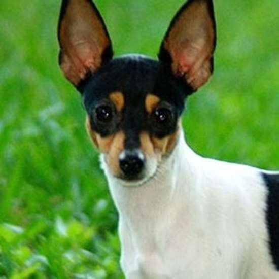 Toy Fox Terrier - Julius-K9 harness