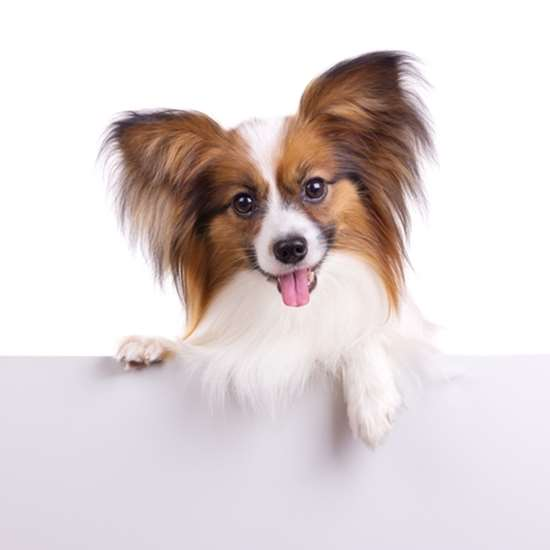 Picture of Papillon
