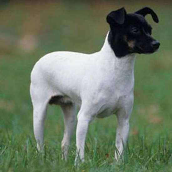 Picture of Japanese Terrier