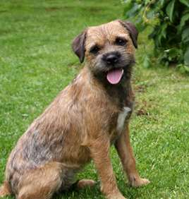 Picture of Border Terrier