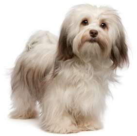 Picture of Havanese