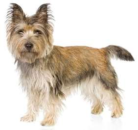 Picture of Cairn Terrier