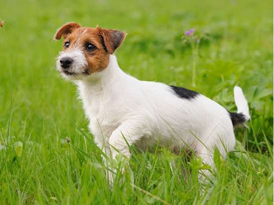 Picture of Jack Russell Terrier