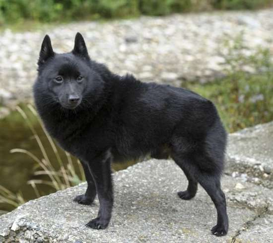 Picture of Schipperke
