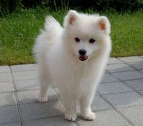 Picture of Japanese Spitz