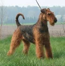Picture of Airedale Terrier