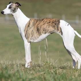 Picture of Whippet