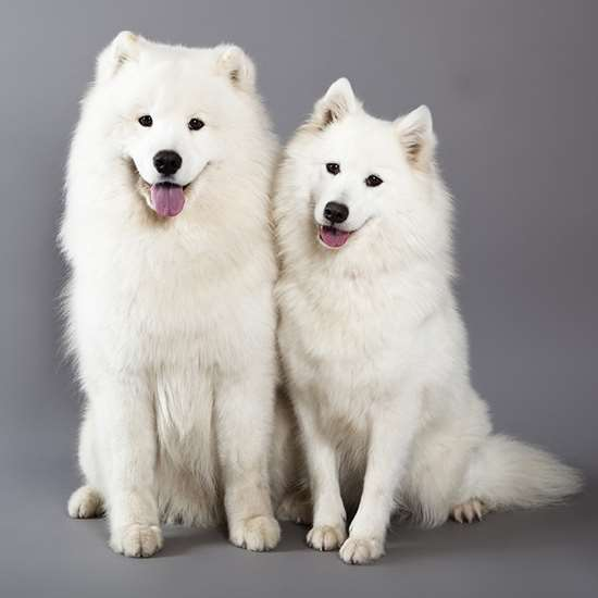 Picture of Samoyed