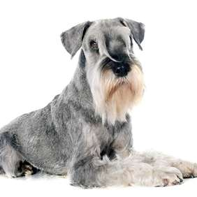 Picture of Standard Schnauzer