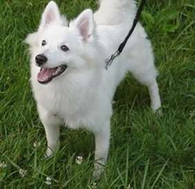 Picture of American Eskimo Dog