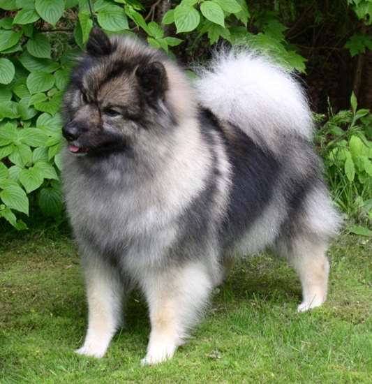 Picture of Keeshond