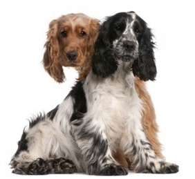 Picture of English Cocker Spaniel