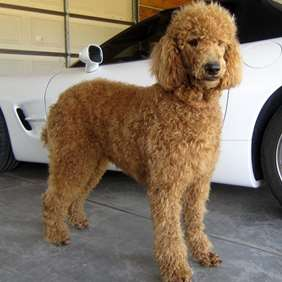 Picture of Poodle