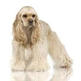 Picture of American Cocker Spaniel