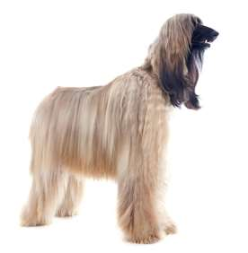 Picture of Afghan Hound