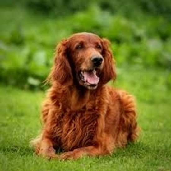 Picture of Irish Setter