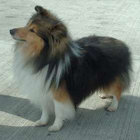 Picture of Shetland Sheepdog