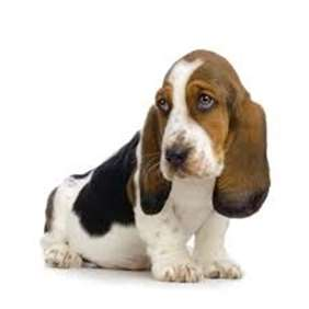 Picture of Basset Hound