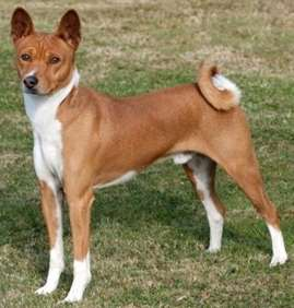Picture of Basenji