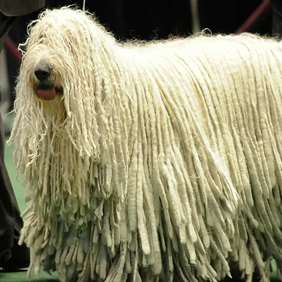 Picture of Komondor