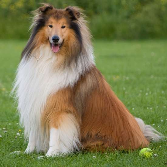 Picture of Collie