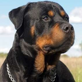 Picture of Rottweiler