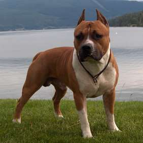 Picture of American Staffordshire Terrier (Amstaff)