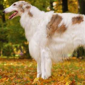 Picture of Borzoi