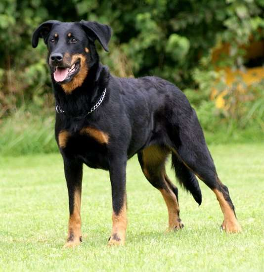 Picture of Beauceron