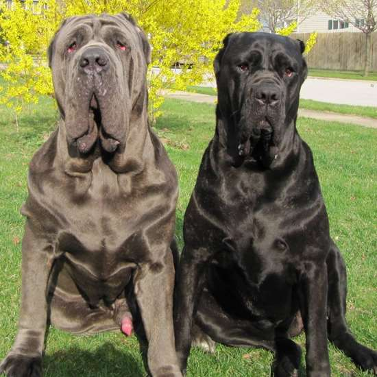 Picture of Mastiff