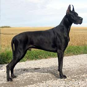 Picture of Great Dane