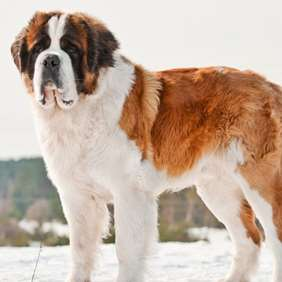 Picture of Saint Bernard