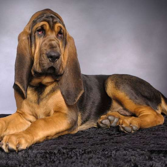 Picture of Bloodhound