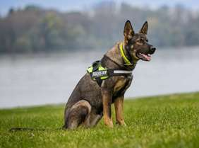 Picture of German Shepherd