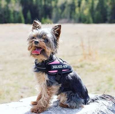 Pink Harness - a Newcomer in Dog Fashion