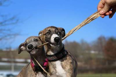 Greyhound – The Laziest Runner On Planet Earth