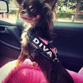 Black chihuahua in pink harness with custom labels