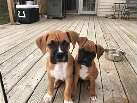 boxer puppies dog cute